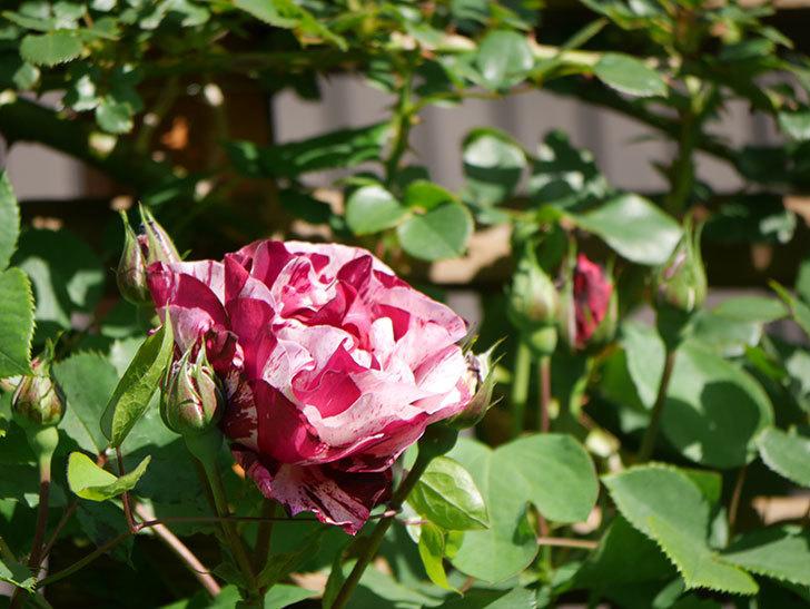 ニュー・イマジン(New Imagine)の花が咲いた。半ツルバラ。2021年-010.jpg