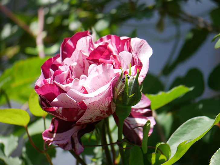 ニュー・イマジン(New Imagine)の花が咲いた。半ツルバラ。2021年-013.jpg