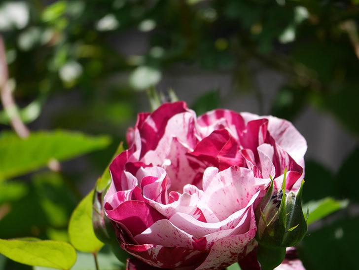 ニュー・イマジン(New Imagine)の花が咲いた。半ツルバラ。2021年-015.jpg
