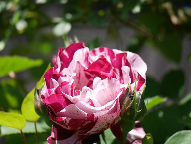 ニュー・イマジン(New Imagine)の花が咲いた。半ツルバラ。2021年-017.jpg