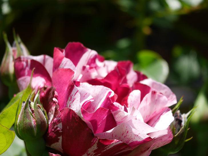 ニュー・イマジン(New Imagine)の花が咲いた。半ツルバラ。2021年-018.jpg