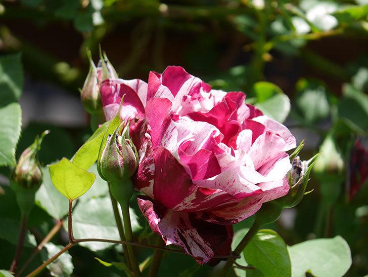 ニュー・イマジン(New Imagine)の花が咲いた。半ツルバラ。2021年-019.jpg