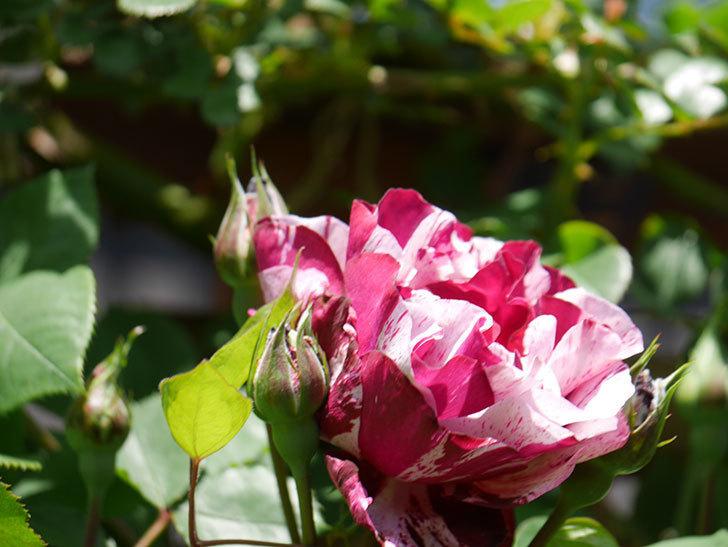 ニュー・イマジン(New Imagine)の花が咲いた。半ツルバラ。2021年-020.jpg