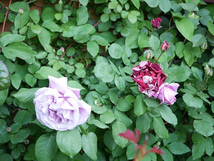ニュー・イマジン(New Imagine)の花が増えてきた。半ツルバラ。2021年-001.jpg