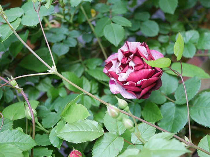 ニュー・イマジン(New Imagine)の花が増えてきた。半ツルバラ。2021年-003.jpg
