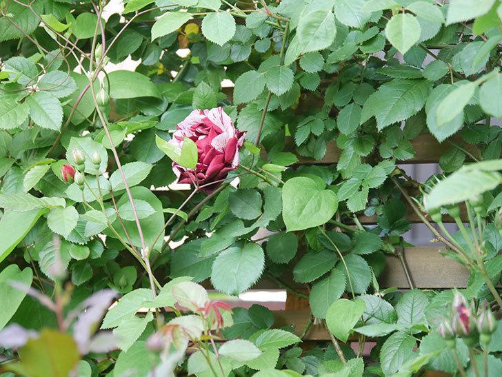 ニュー・イマジン(New Imagine)の花が増えてきた。半ツルバラ。2021年-004.jpg