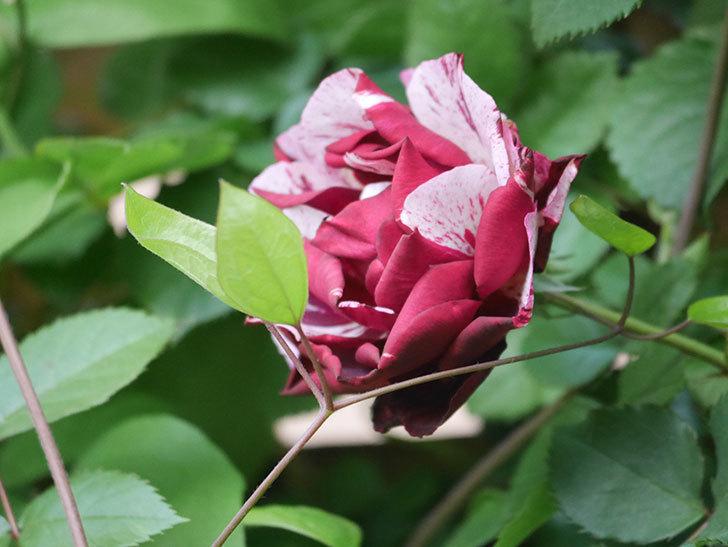 ニュー・イマジン(New Imagine)の花が増えてきた。半ツルバラ。2021年-005.jpg