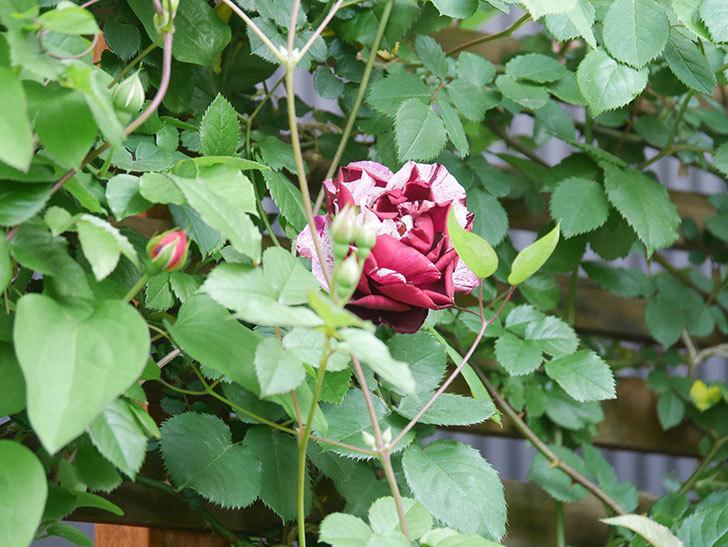 ニュー・イマジン(New Imagine)の花が増えてきた。半ツルバラ。2021年-006.jpg