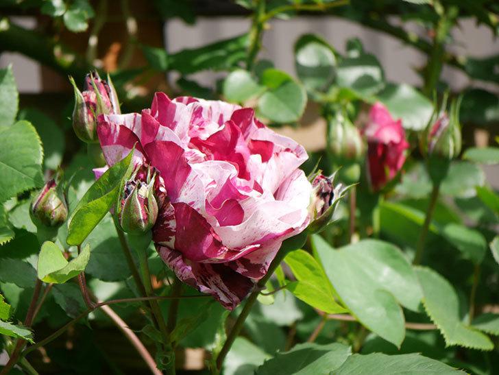 ニュー・イマジン(New Imagine)の花が増えてきた。半ツルバラ。2021年-007.jpg