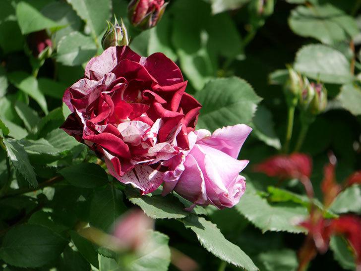 ニュー・イマジン(New Imagine)の花が増えてきた。半ツルバラ。2021年-009.jpg