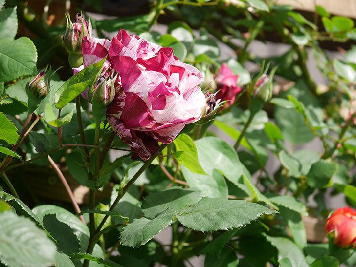 ニュー・イマジン(New Imagine)の花が増えてきた。半ツルバラ。2021年-012.jpg