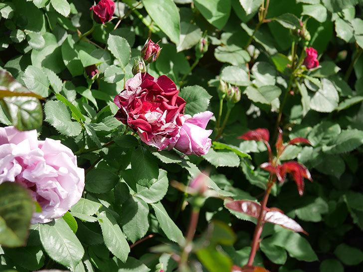 ニュー・イマジン(New Imagine)の花が増えてきた。半ツルバラ。2021年-014.jpg