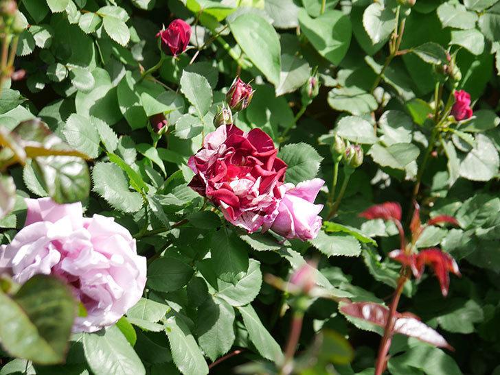 ニュー・イマジン(New Imagine)の花が増えてきた。半ツルバラ。2021年-015.jpg