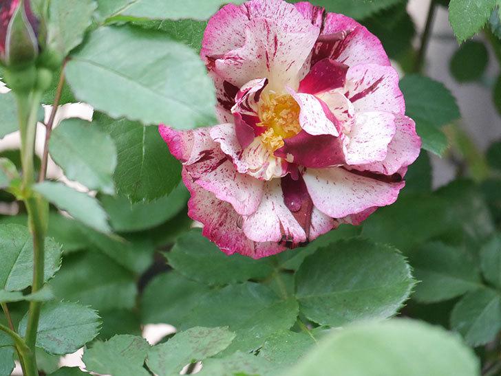 ニュー・イマジン(New Imagine)の花が増えてきた。半ツルバラ。2021年-018.jpg