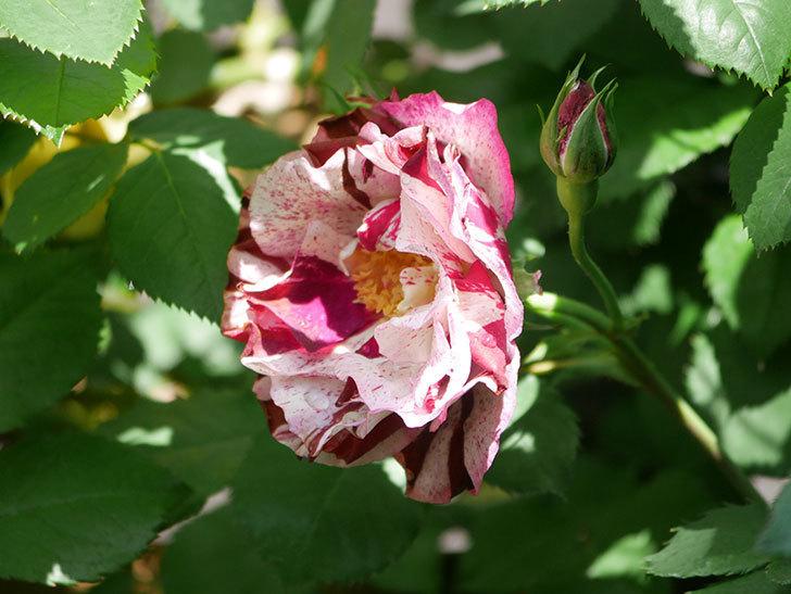 ニュー・イマジン(New Imagine)の花が増えてきた。半ツルバラ。2021年-019.jpg