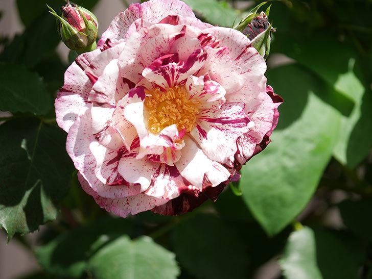ニュー・イマジン(New Imagine)の花が増えてきた。半ツルバラ。2021年-021.jpg