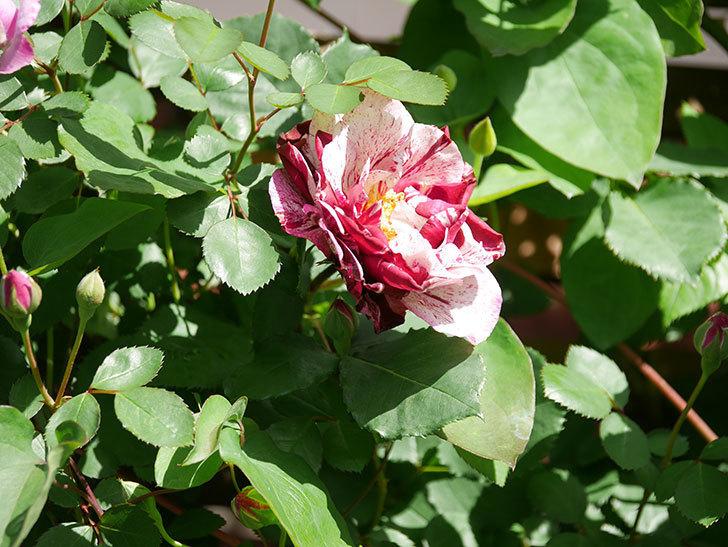 ニュー・イマジン(New Imagine)の花が増えてきた。半ツルバラ。2021年-022.jpg