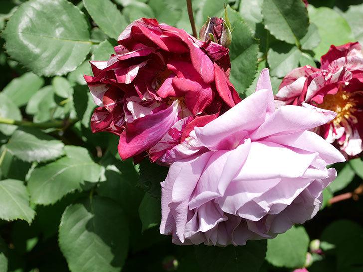 ニュー・イマジン(New Imagine)の花が増えてきた。半ツルバラ。2021年-024.jpg