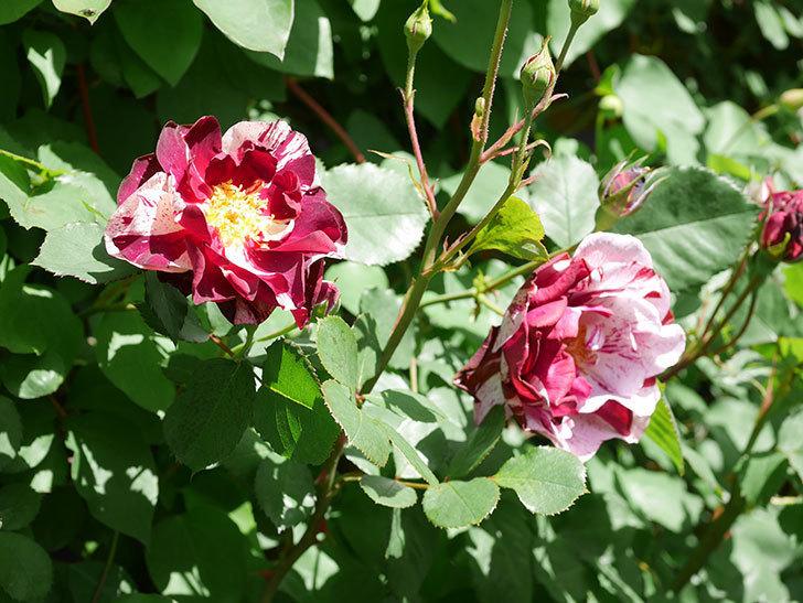 ニュー・イマジン(New Imagine)の花が増えてきた。半ツルバラ。2021年-027.jpg