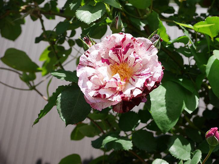 ニュー・イマジン(New Imagine)の花が増えてきた。半ツルバラ。2021年-028.jpg