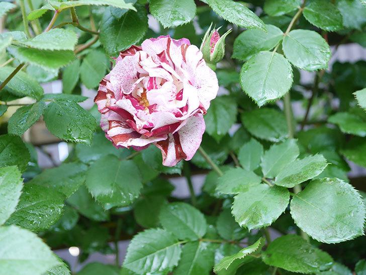ニュー・イマジン(New Imagine)の花が増えてきた。半ツルバラ。2021年-029.jpg