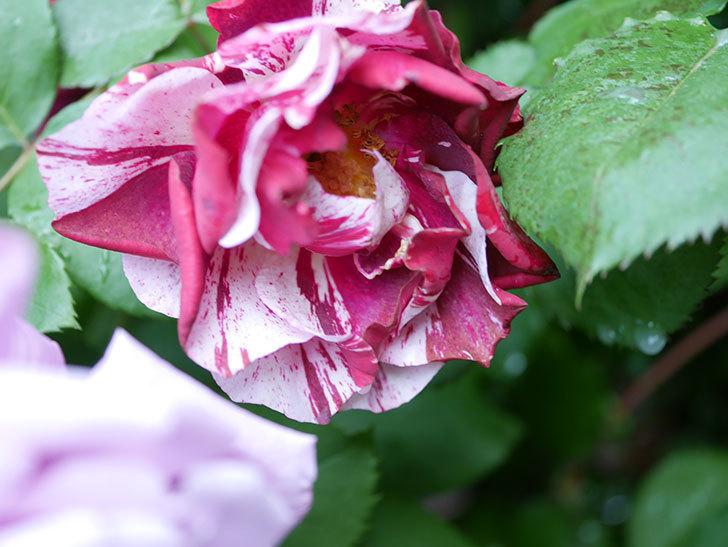 ニュー・イマジン(New Imagine)の花が増えてきた。半ツルバラ。2021年-030.jpg
