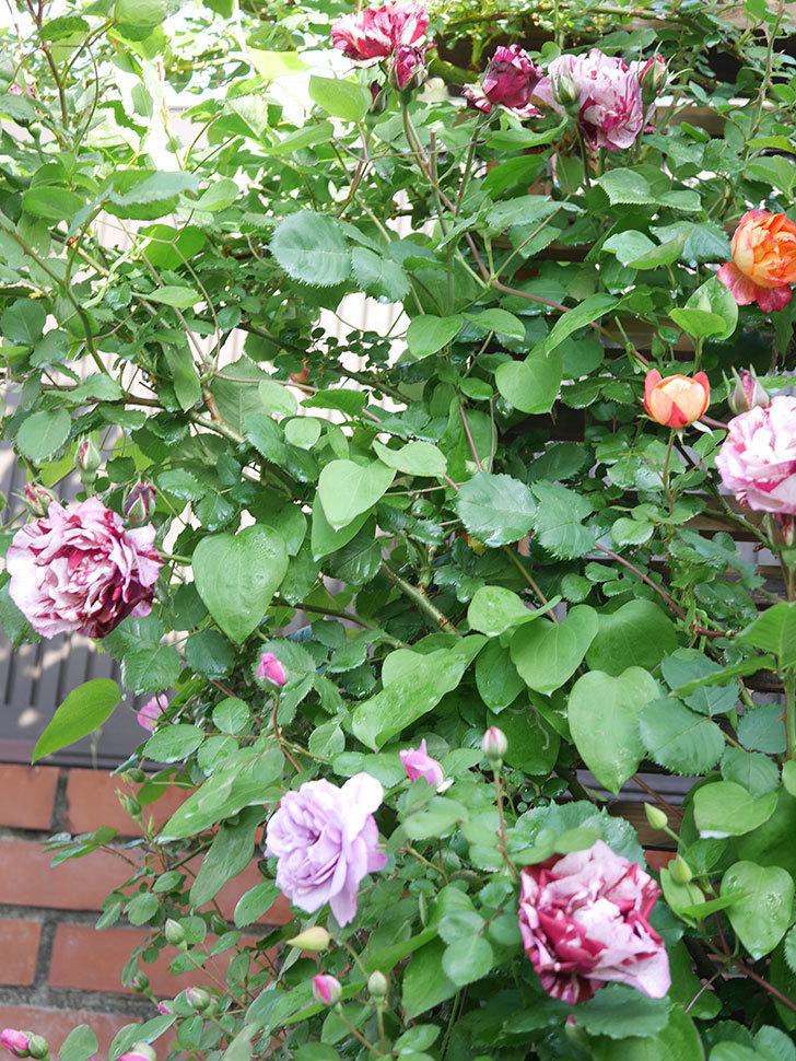 ニュー・イマジン(New Imagine)の花が増えてきた。半ツルバラ。2021年-031.jpg