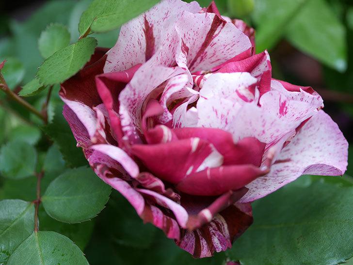 ニュー・イマジン(New Imagine)の花が増えてきた。半ツルバラ。2021年-032.jpg