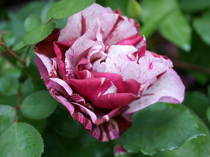 ニュー・イマジン(New Imagine)の花が増えてきた。半ツルバラ。2021年-033.jpg
