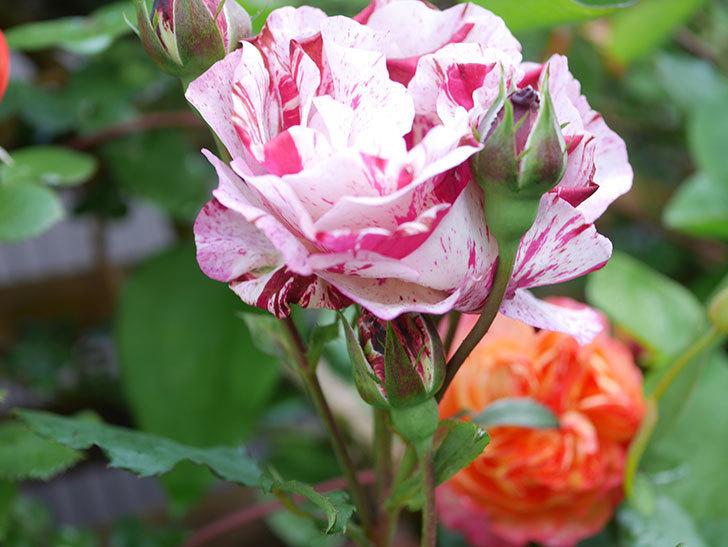 ニュー・イマジン(New Imagine)の花が増えてきた。半ツルバラ。2021年-035.jpg