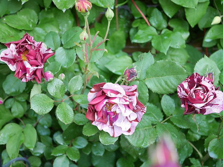 ニュー・イマジン(New Imagine)の花が増えてきた。半ツルバラ。2021年-039.jpg