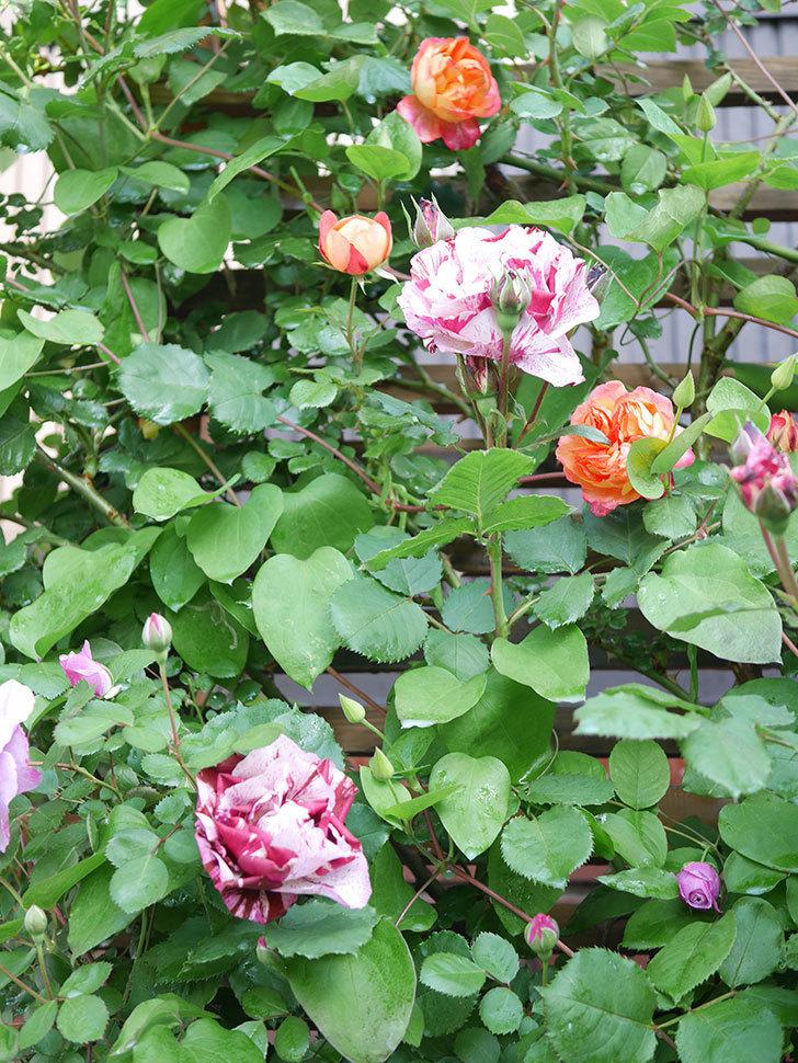 ニュー・イマジン(New Imagine)の花が増えてきた。半ツルバラ。2021年-040.jpg