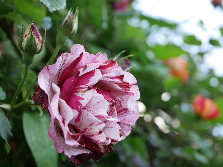ニュー・イマジン(New Imagine)の花が増えてきた。半ツルバラ。2021年-043.jpg