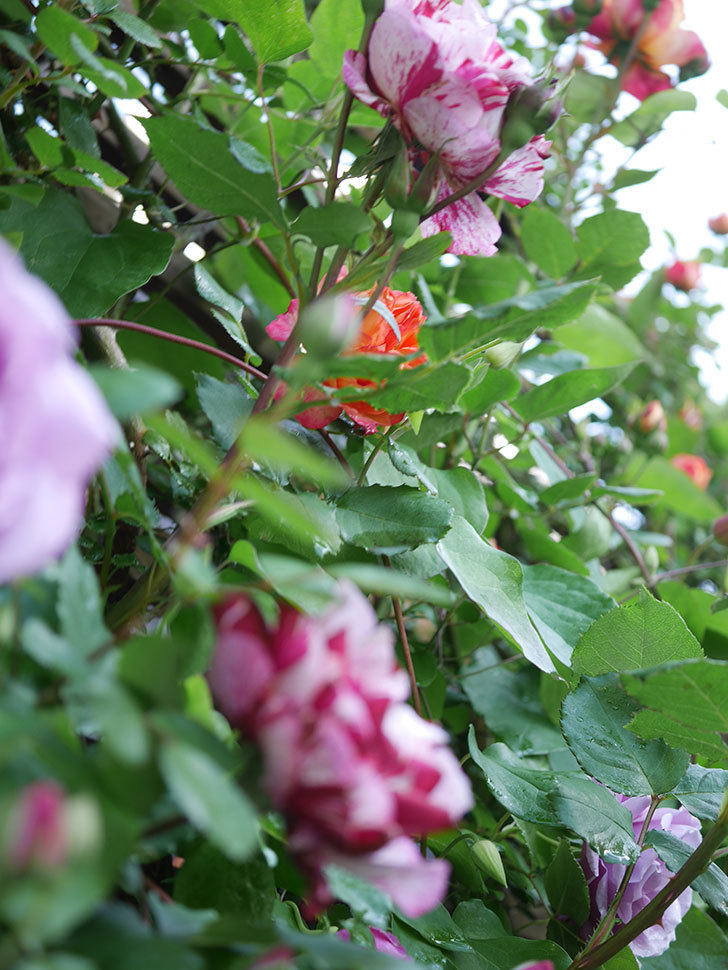 ニュー・イマジン(New Imagine)の花が増えてきた。半ツルバラ。2021年-044.jpg