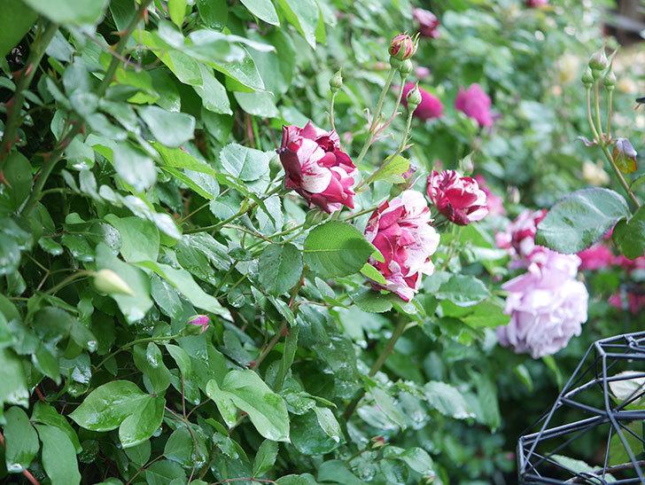 ニュー・イマジン(New Imagine)の花が増えてきた。半ツルバラ。2021年-045.jpg