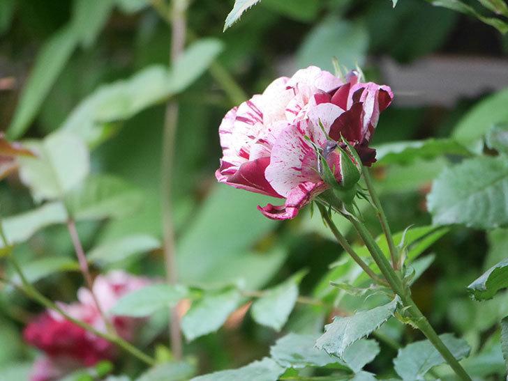 ニュー・イマジン(New Imagine)の花が増えてきた。半ツルバラ。2021年-047.jpg