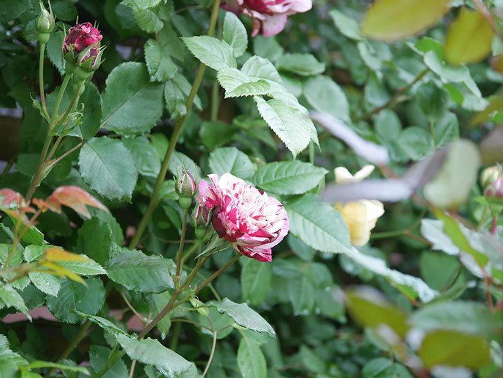 ニュー・イマジン(New Imagine)の花が増えてきた。半ツルバラ。2021年-050.jpg