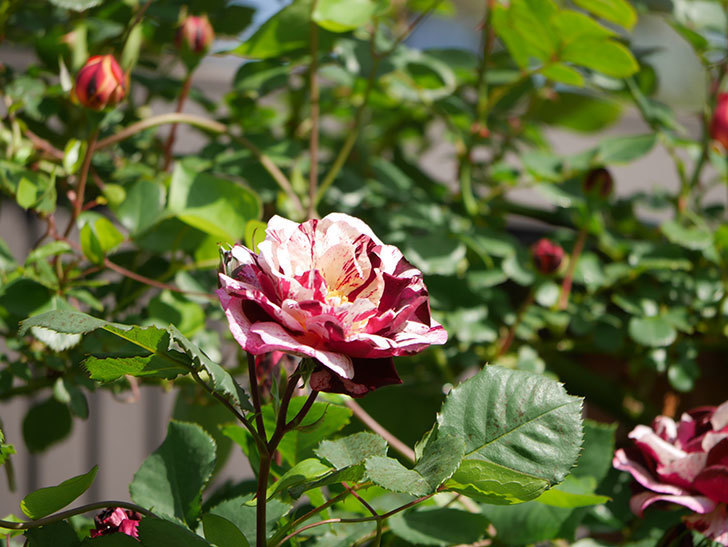 ニュー・イマジン(New Imagine)の花が増えてきた。半ツルバラ。2021年-051.jpg