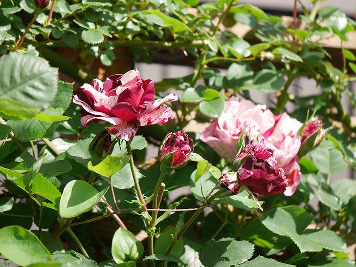 ニュー・イマジン(New Imagine)の花が増えてきた。半ツルバラ。2021年-052.jpg
