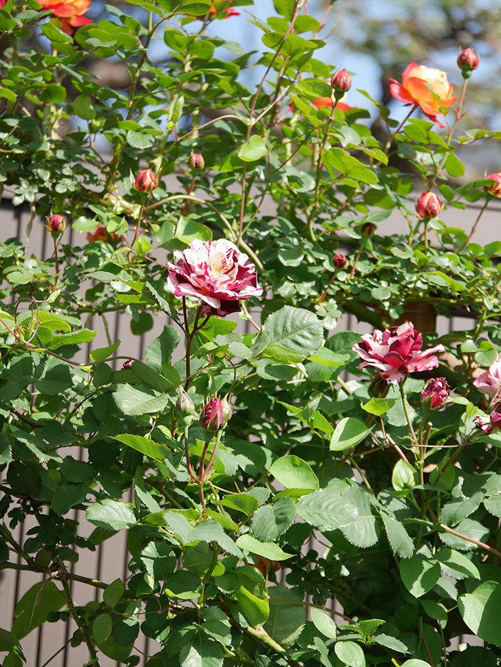 ニュー・イマジン(New Imagine)の花が増えてきた。半ツルバラ。2021年-054.jpg
