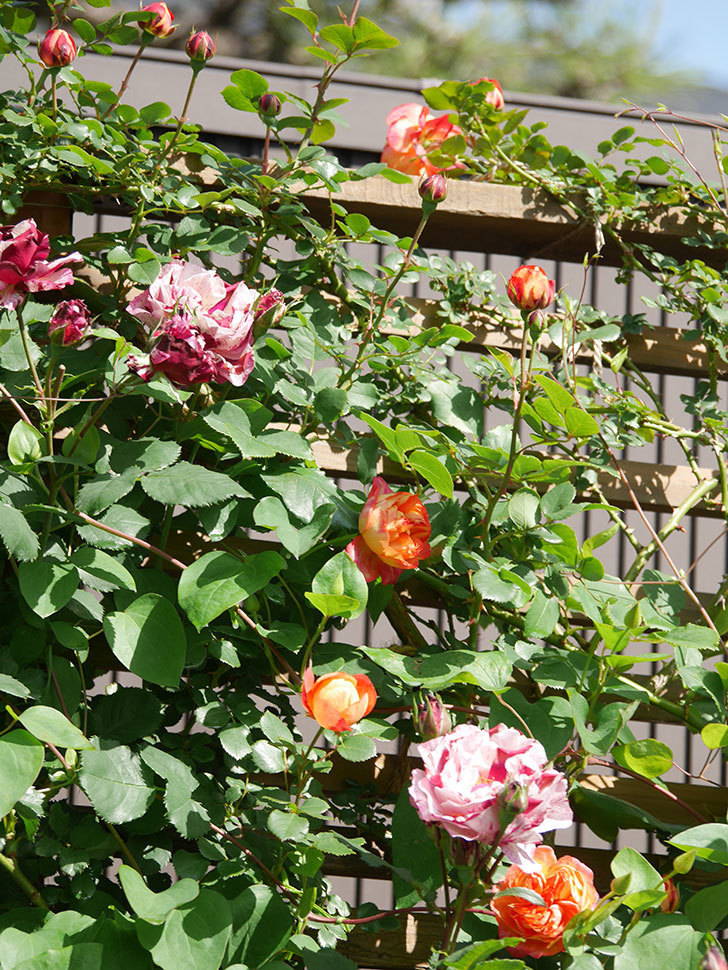 ニュー・イマジン(New Imagine)の花が増えてきた。半ツルバラ。2021年-055.jpg