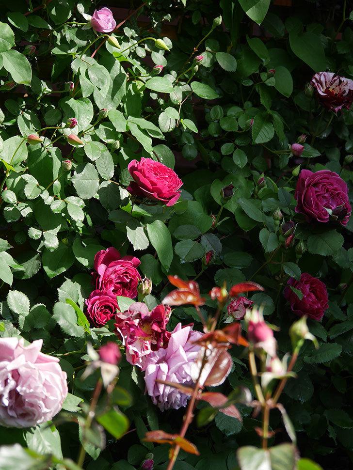 ニュー・イマジン(New Imagine)の花が増えてきた。半ツルバラ。2021年-056.jpg
