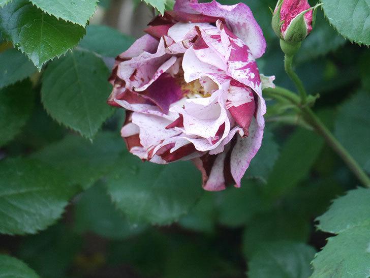 ニュー・イマジン(New Imagine)の花が増えてきた。半ツルバラ。2021年-057.jpg