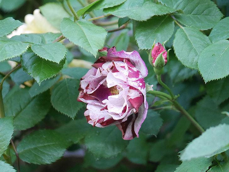 ニュー・イマジン(New Imagine)の花が増えてきた。半ツルバラ。2021年-061.jpg