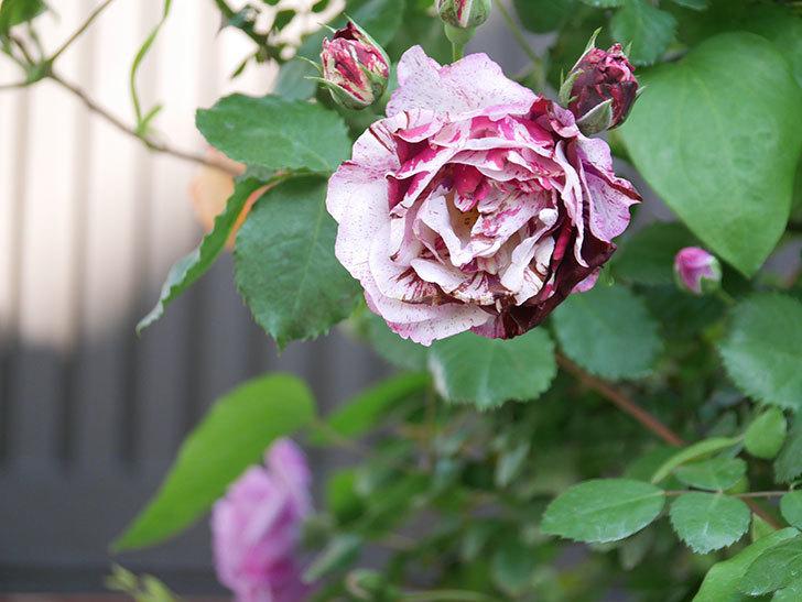 ニュー・イマジン(New Imagine)の花が増えてきた。半ツルバラ。2021年-065.jpg