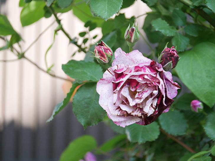 ニュー・イマジン(New Imagine)の花が増えてきた。半ツルバラ。2021年-066.jpg