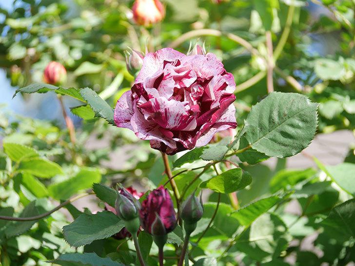ニュー・イマジン(New Imagine)の花が増えてきた。半ツルバラ。2021年-067.jpg