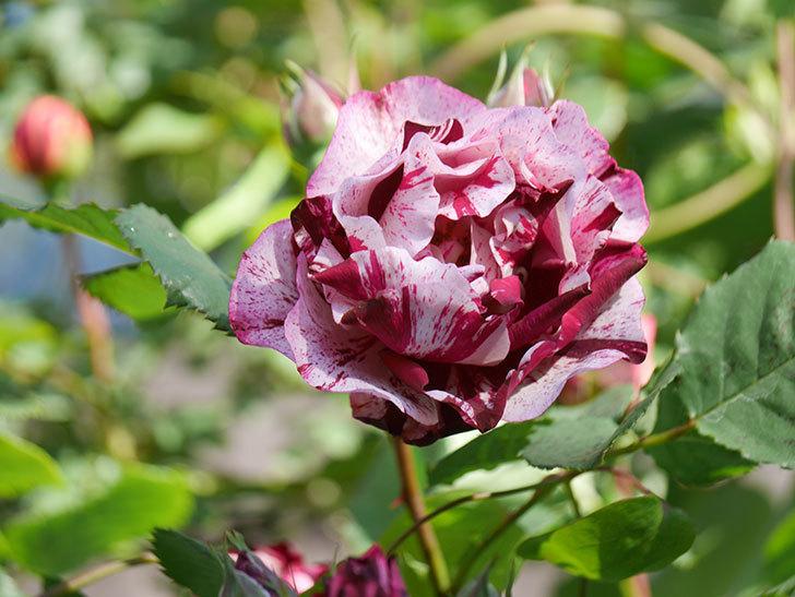 ニュー・イマジン(New Imagine)の花が増えてきた。半ツルバラ。2021年-068.jpg
