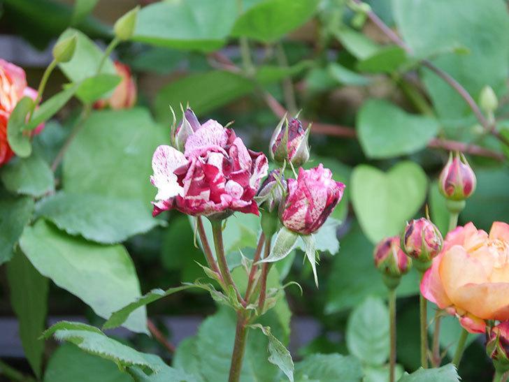 ニュー・イマジン(New Imagine)の花が増えてきた。半ツルバラ。2021年-074.jpg
