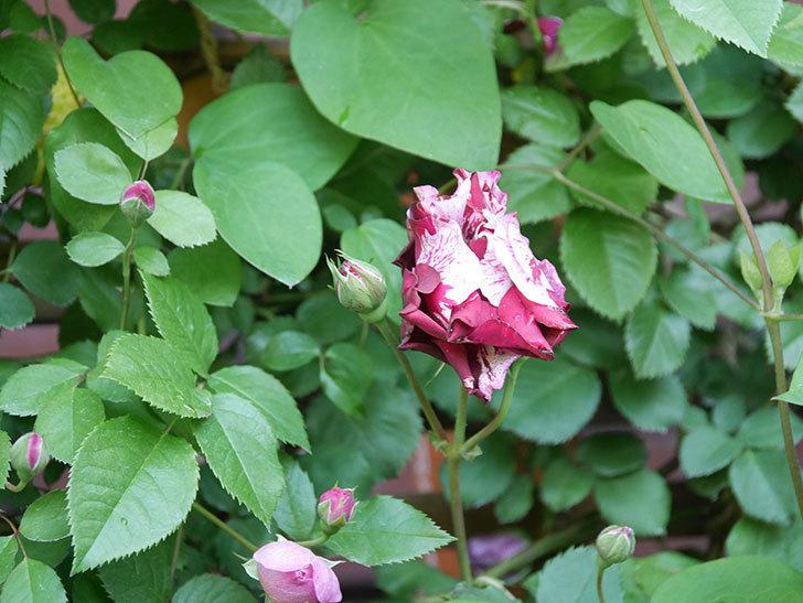 ニュー・イマジン(New Imagine)の花が増えてきた。半ツルバラ。2021年-075.jpg